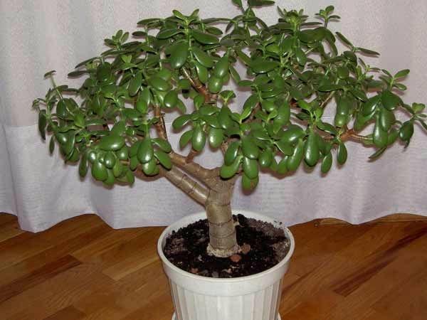 Уход за денежным деревом домашних условиях